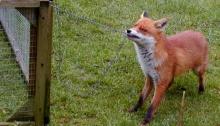 Fox in the hen house; image from https://en.wikipedia.org/wiki/Red_fox