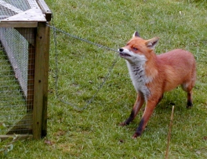Fox in the hen house; image from https://en.wikipedia.org/wiki/Red_fox