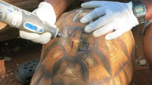 Marking of ploughshare tortoises; image from BBC news at http://www.bbc.co.uk/news/science-environment-33096261